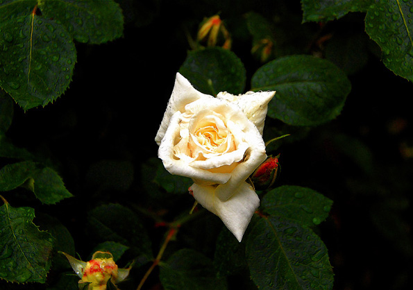 whiterose1