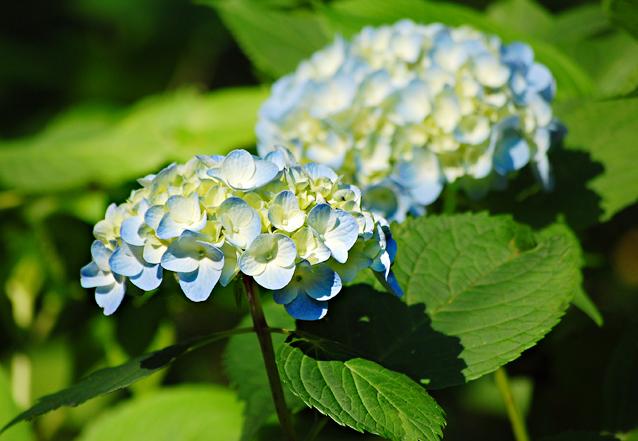 blueflower2