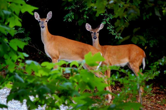 Deer4Web