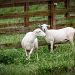 Chipley: loves lambs; dislikes black cows