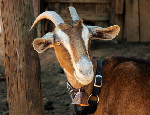 Goat Time!