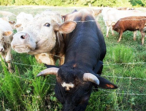 Cows Gone Wild!