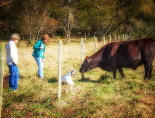 Chip Meet Mrs. Cow!
