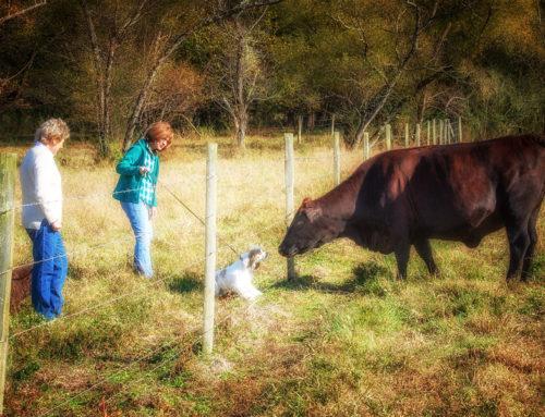 Chip Meet Mrs. Cow!