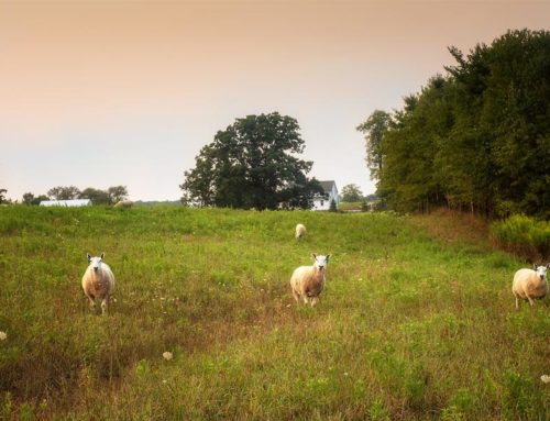 Sheep of My Pasture